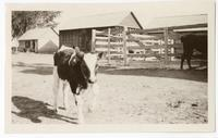 A calf with farm buildings in background
